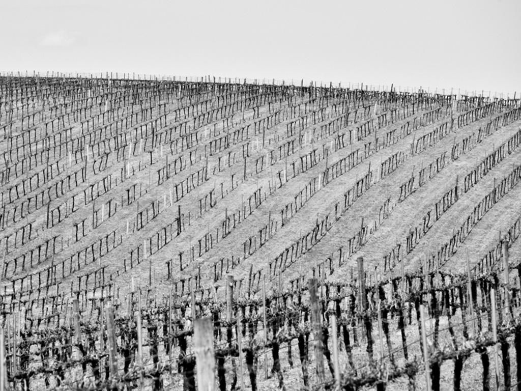 Hillside of vines